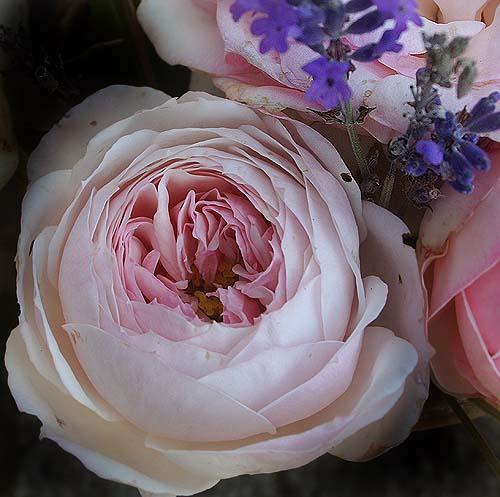 pierre de ronsard 39 eden rose 85 39 moderne strauchrosen bei schmid gartenpflanzen bilder. Black Bedroom Furniture Sets. Home Design Ideas